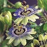 Passiflora caerulea | Blaue Passionsblume | Gartenpflanzen winterhart | Exotische Pflanzen | Höhe 65-75cm | Topf-Ø 15cm