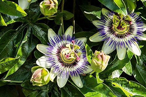 Lila Blaue Passionsblume - Passiflora caerulea -...